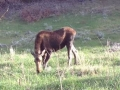 Moose on Silver Run Road